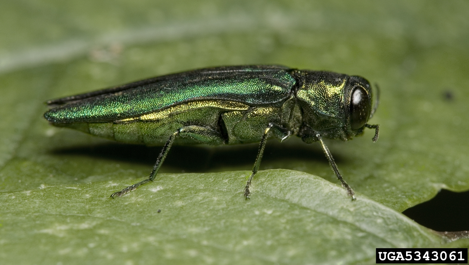 Hundreds of trees to be removed from St. Louis Arch grounds in advance of concerns of the emerald ash borer